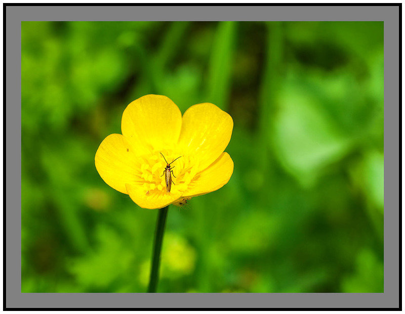 A8972 Buttercup and Insect