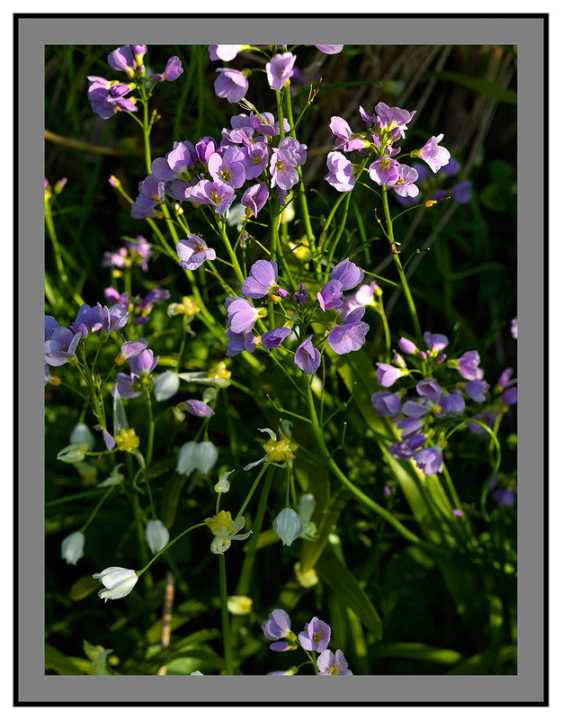 A 2562 Wild flowers-Barons Haugh