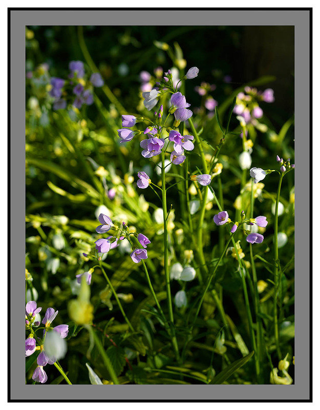 A 2566 Wild flowers-Barons Haugh