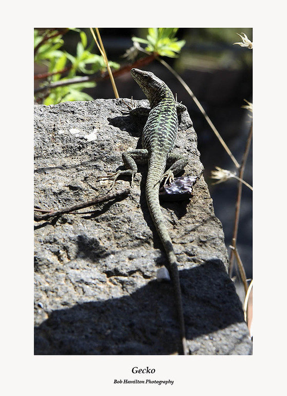 Gecko lizard enjoying the sunshine-Taormina Sicily