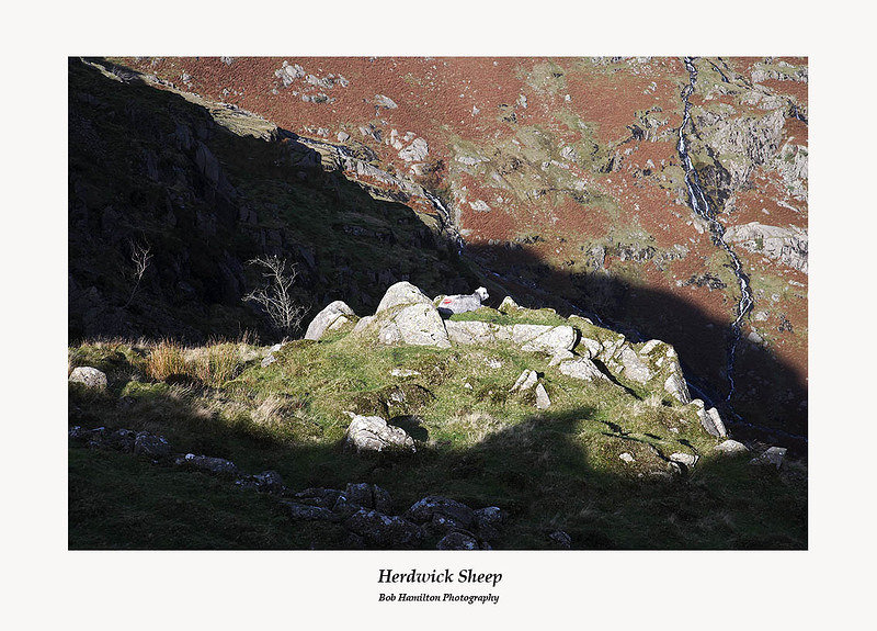 Herdwick sheep at rest near Blea Rigg Codale