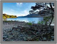 A8803 Early morning Loch Maree and gnarled tree roots