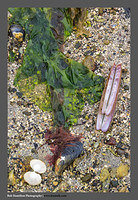 S3050515 Shells and Kelp Sandaig