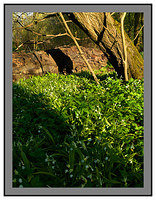 A 2559 Wild garlic-Barons Haugh