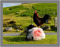 A 5312 Cockerel on Sheep Honister