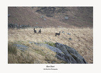 Wild Roe Deer on the slopes of Buchan Hill Galloway