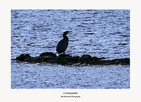 Cormorant fishing on Glencorse Reservoir
