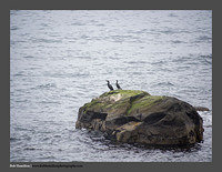 O123970 Lofoten cormorants Merlind