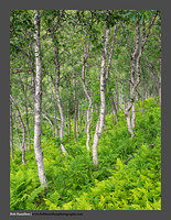 O125273 Nordland County Birch and Fern Kjelvik