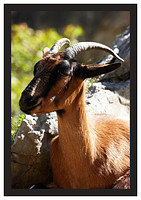 46E5406 Wild goat in Cares Gorge