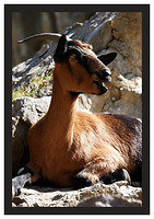46E5413 Wild goat in Cares Gorge