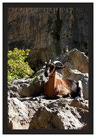 46E5420 Wild goat in Cares Gorge