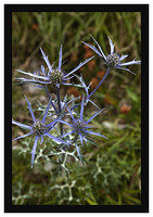 46E5590 Sea Holly taken near Bulnes