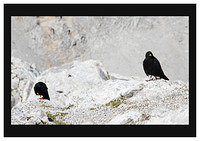 46E6189 Choughs in their environment