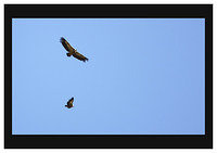 46E6570 Griffon Vultures soar over Joracao