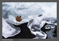 13010995 Ice Stream and Sycamore Leaf Rorvika Lofoten-as spotted by David Ward (credit where credit's due..!!)