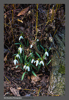 S3030390 Snowdrops Coulter
