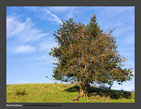 O126588 Yew tree-Scalehow