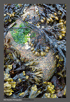 S3050535 Kelp Boulder and Barnacles Sandaig