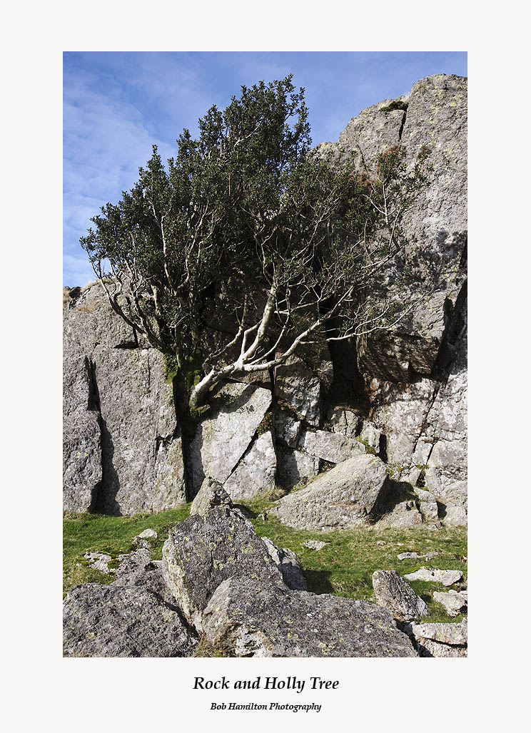 Holly Tree growing from rock near Blea Rigg