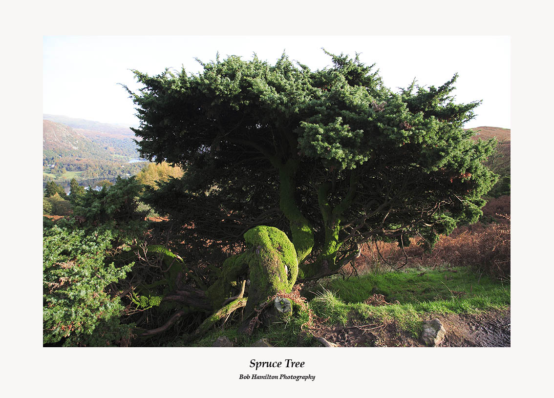 Spruce tree contorted by the wind-near Silver Howe