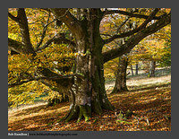O126675 Beech Wood-Culter Allers